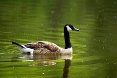 水的飞行鹅 库存图片