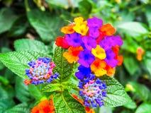 的马樱丹属和五颜六色新出生的彩虹 库存照片