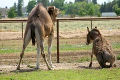 的骆驼和停留的驴 免版税库存照片