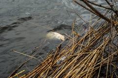 死的鱼在湖 库存图片