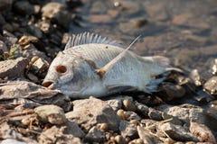 死的鱼 免版税库存照片