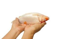 死的鲤鱼鱼, koi鱼在手边 免版税库存图片