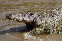 死的鳄鱼在玛拉河,马赛马拉比赛储备,肯尼亚 免版税库存照片