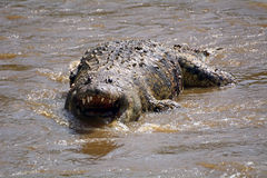 死的鳄鱼在玛拉河,马赛马拉比赛储备,肯尼亚 库存照片