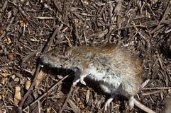 死的鼠 库存照片