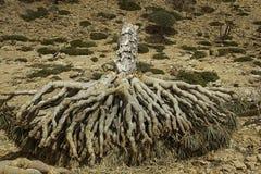 死的龙血树,龙血树属植物cinnabari,索科特拉岛龙血树,威胁了种类 免版税库存照片