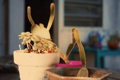 的仙人掌多汁植物 免版税图库摄影