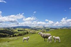 的绵羊和吃草两只的羊羔 免版税库存照片