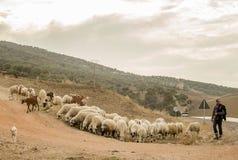 他的绵羊牧羊人 库存图片