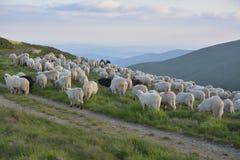 他的绵羊牧羊人 免版税库存照片