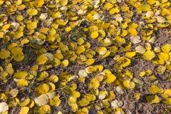 死的黄色叶子欧洲白杨木(杨属tremula)在autum 库存照片