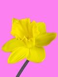 黄水仙的黄色开花的特写镜头在桃红色背景隔绝的 库存图片