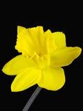 黄水仙的黄色开花的特写镜头在黑背景隔绝的 免版税库存图片