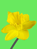 黄水仙的黄色开花的特写镜头在绿色背景隔绝的 免版税库存图片