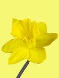 黄水仙的黄色开花的特写镜头在黄色背景隔绝的 库存照片