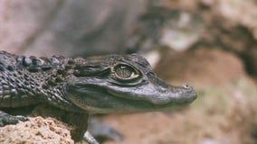 的绿色鳄鱼坐在透明鸟舍的观点用水 危险动物 食肉动物 股票视频