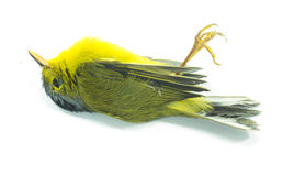 死的黄色鸟 库存图片