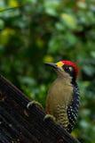 黑的cheeked啄木鸟 图库摄影