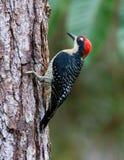 黑的cheeked啄木鸟 库存图片