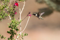 黑的chinned蜂鸟 库存照片