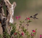 黑的chinned蜂鸟 免版税库存照片