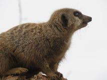 的meerkat一个徒步旅行队公园在英国 免版税库存图片