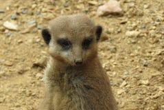 的meerkat一个徒步旅行队公园在英国 图库摄影