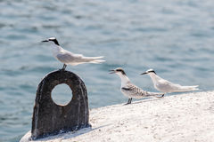 黑的naped燕鸥` s成人和少年栖息在浮体 免版税库存照片