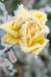 冻结的yelow上升了 免版税图库摄影