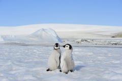 皇企鹅小鸡在南极洲 免版税库存照片