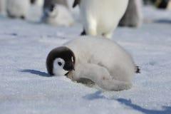 皇企鹅小鸡在南极洲 库存图片