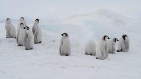 皇企鹅小鸡,Aptenodytes forsteri,在冰 股票录像