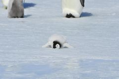 皇企鹅小鸡 免版税库存图片