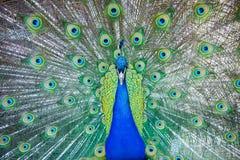 皇家孔雀特写镜头 印地安孔雀孔雀座cristatus画象与羽毛的 显示他的spreade的一个公绿色孔雀 库存照片