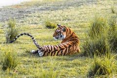 皇家孟加拉母老虎名叫克里希纳 免版税库存照片