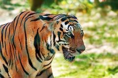 皇家孟加拉老虎特写镜头致命的眼睛 免版税库存图片