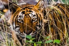 皇家孟加拉老虎的可怕眼睛 图库摄影