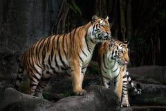 皇家孟加拉老虎的画象在泰国 免版税库存图片