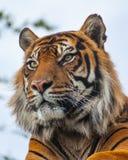 皇家孟加拉老虎的Sideview特写镜头 图库摄影