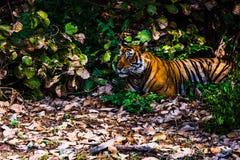 皇家孟加拉老虎被命名Ustaad在Ranthambore 免版税库存照片