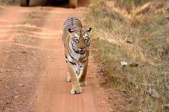 皇家孟加拉老虎,正面 免版税库存图片