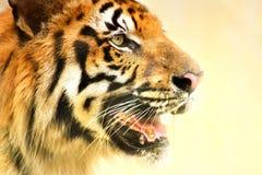 皇家孟加拉老虎,豹属底格里斯河,印度的恼怒的面孔 库存图片