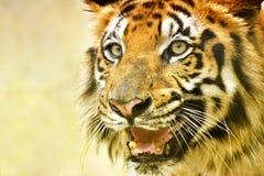 皇家孟加拉老虎,豹属底格里斯河,印度的恼怒的面孔 免版税库存照片