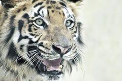 皇家孟加拉老虎,豹属底格里斯河,印度的恼怒的面孔 图库摄影