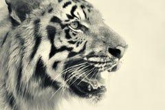 皇家孟加拉老虎,豹属底格里斯河,印度的恼怒的面孔 免版税图库摄影