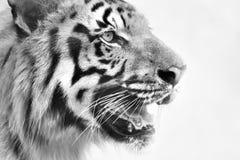 皇家孟加拉老虎,豹属底格里斯河,印度的恼怒的面孔 免版税库存图片