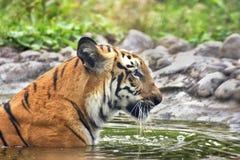 皇家孟加拉老虎,豹属底格里斯河,沐浴在水中,印度 免版税库存照片