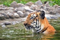 皇家孟加拉老虎,豹属底格里斯河,沐浴在水中,印度 免版税图库摄影