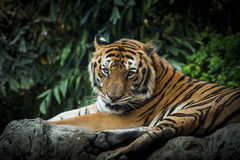 皇家孟加拉老虎画象  免版税库存照片