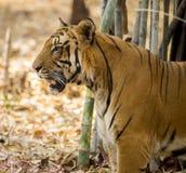 皇家孟加拉老虎 库存图片